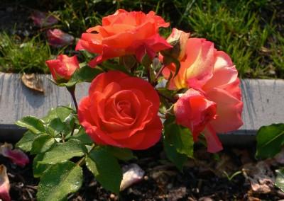 Gebrüder-Grimm-Rose